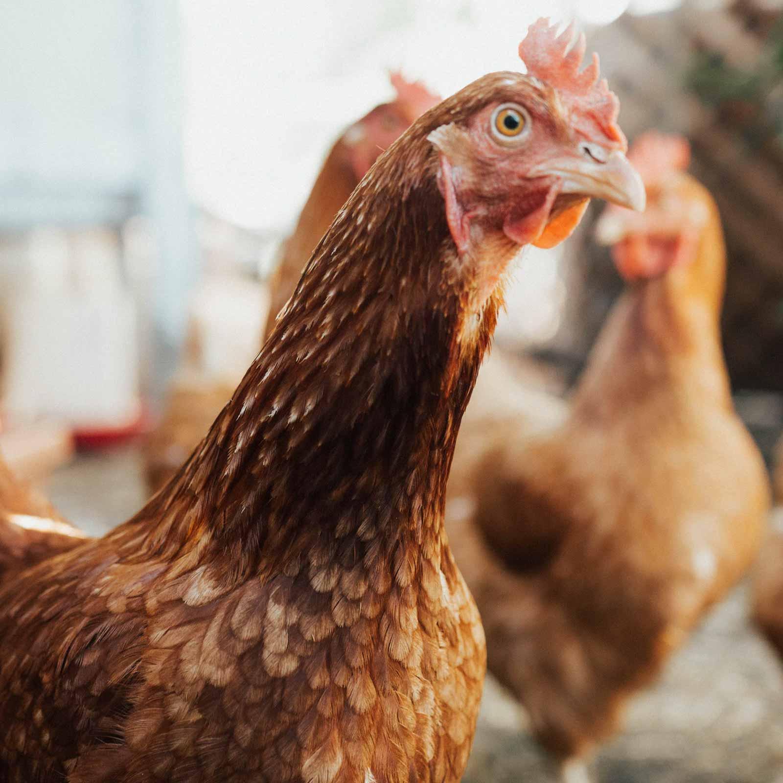 chickens-piccolo-park-01